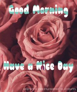 Sweet good morning have a nice day with rose