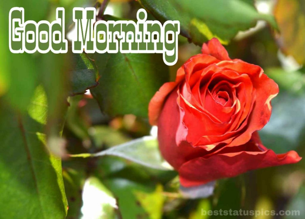 Good morning wishes with red rose pic