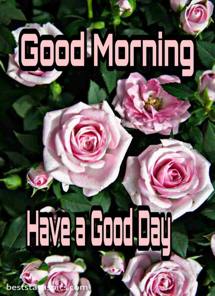 Good morning have a good day with pink rose photo