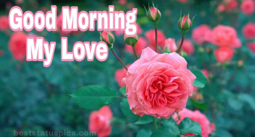 Good Morning My Love with Pink Rose