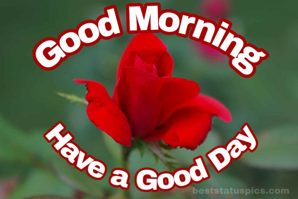 Good morning have a good day with rose