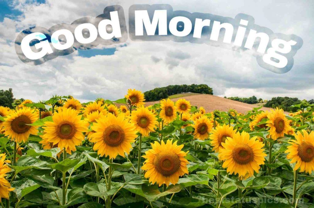 Good morning sunflowers field image