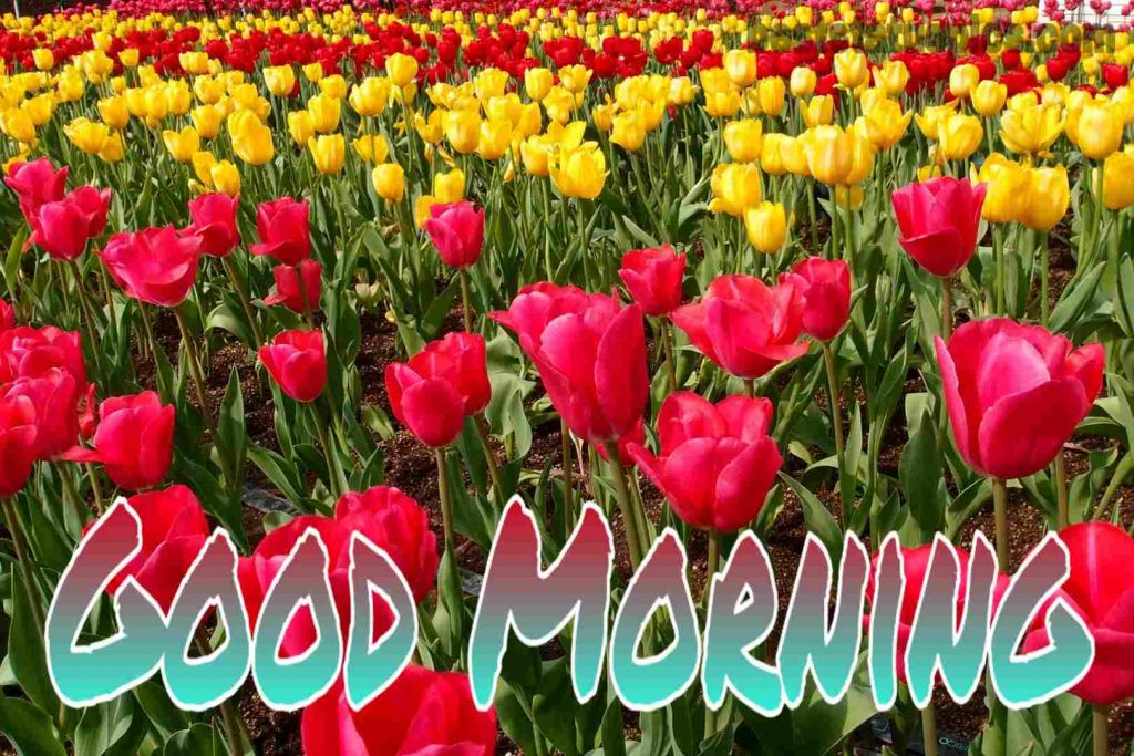 Good morning tulip flowers image