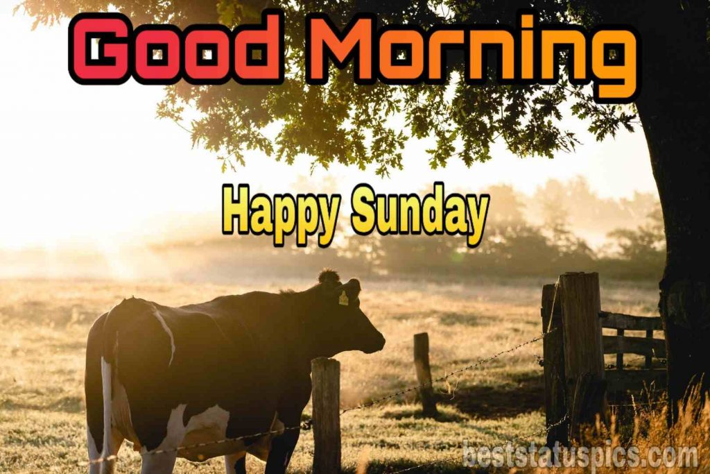 Good morning happy sunday cow nature image