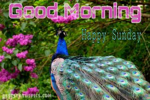 Good morning happy sunday peacock flower image