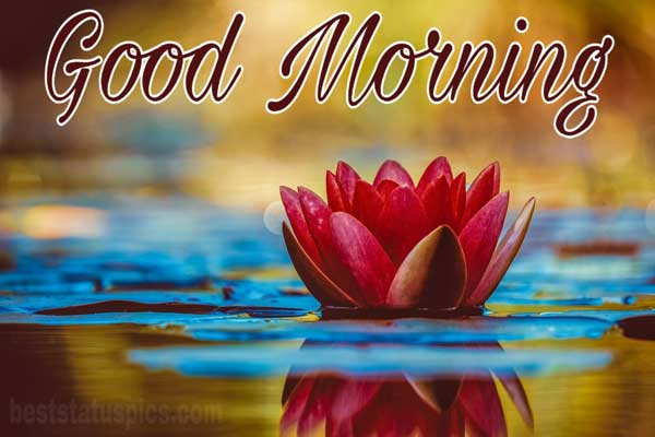 Good morning lotus lily flower featured