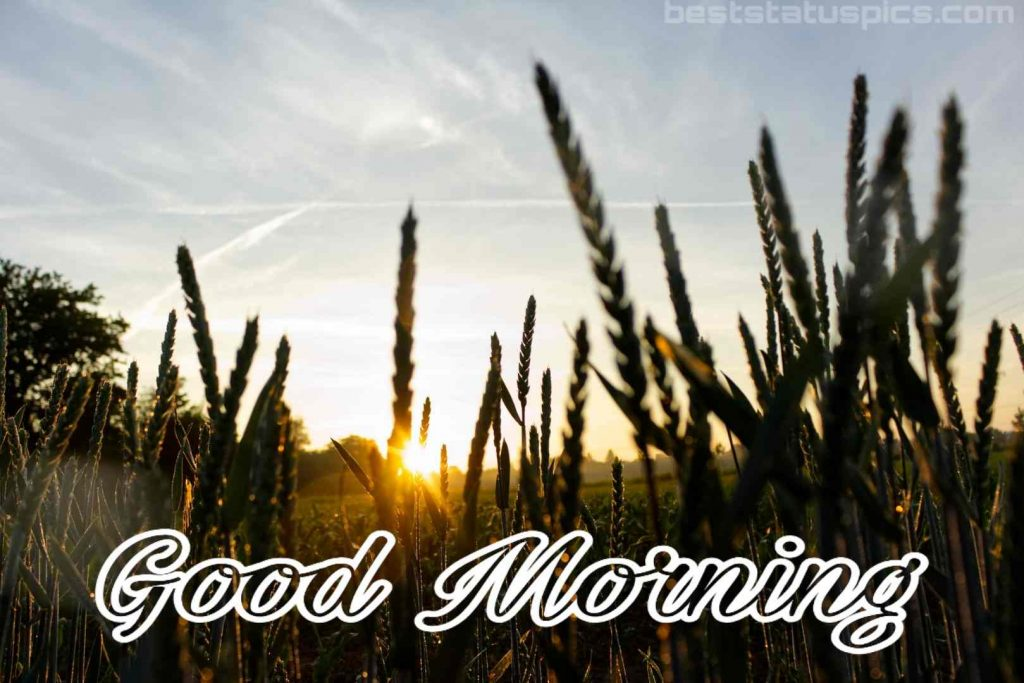 Good morning nature pic with paddy field HD