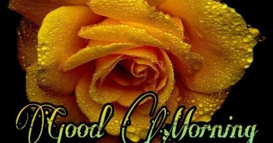 Good Morning Yellow Rose Image Featured