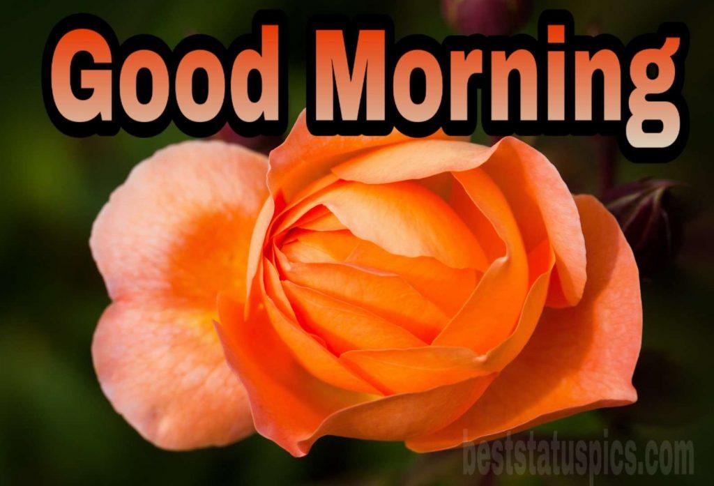 Good morning yellow-orange rose image