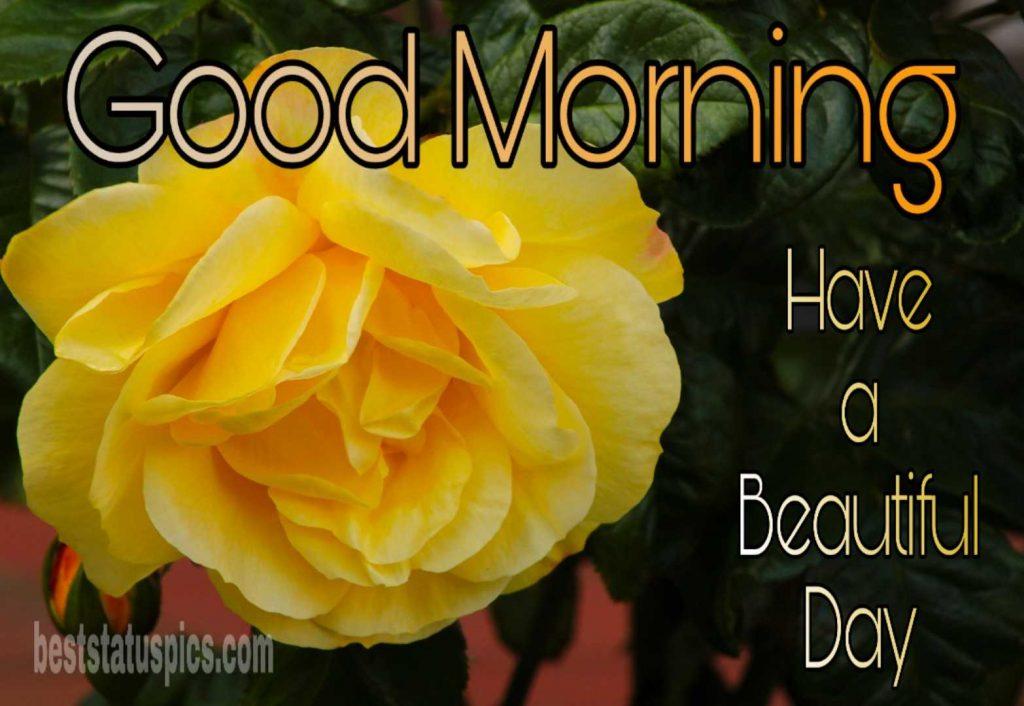 Beautiful day good morning yellow rose photo