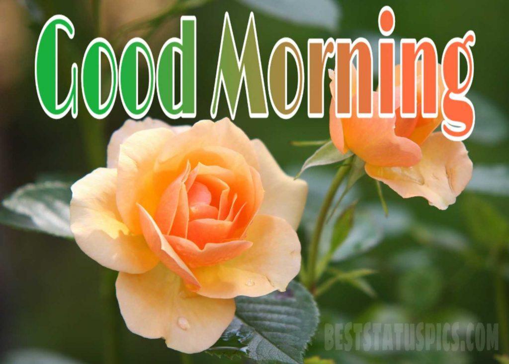 Whatsapp dp Good morning yellow rose image