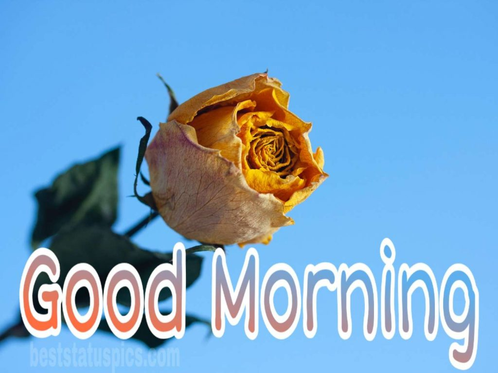 Sweet good morning yellow rose picture
