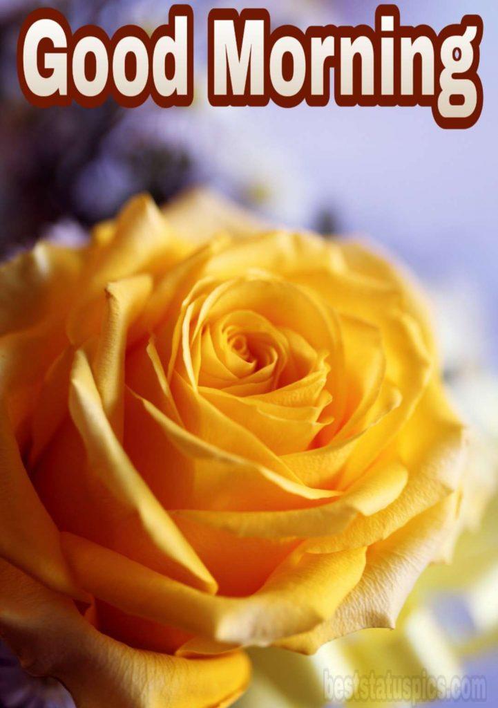 Wonderful good morning yellow rose image