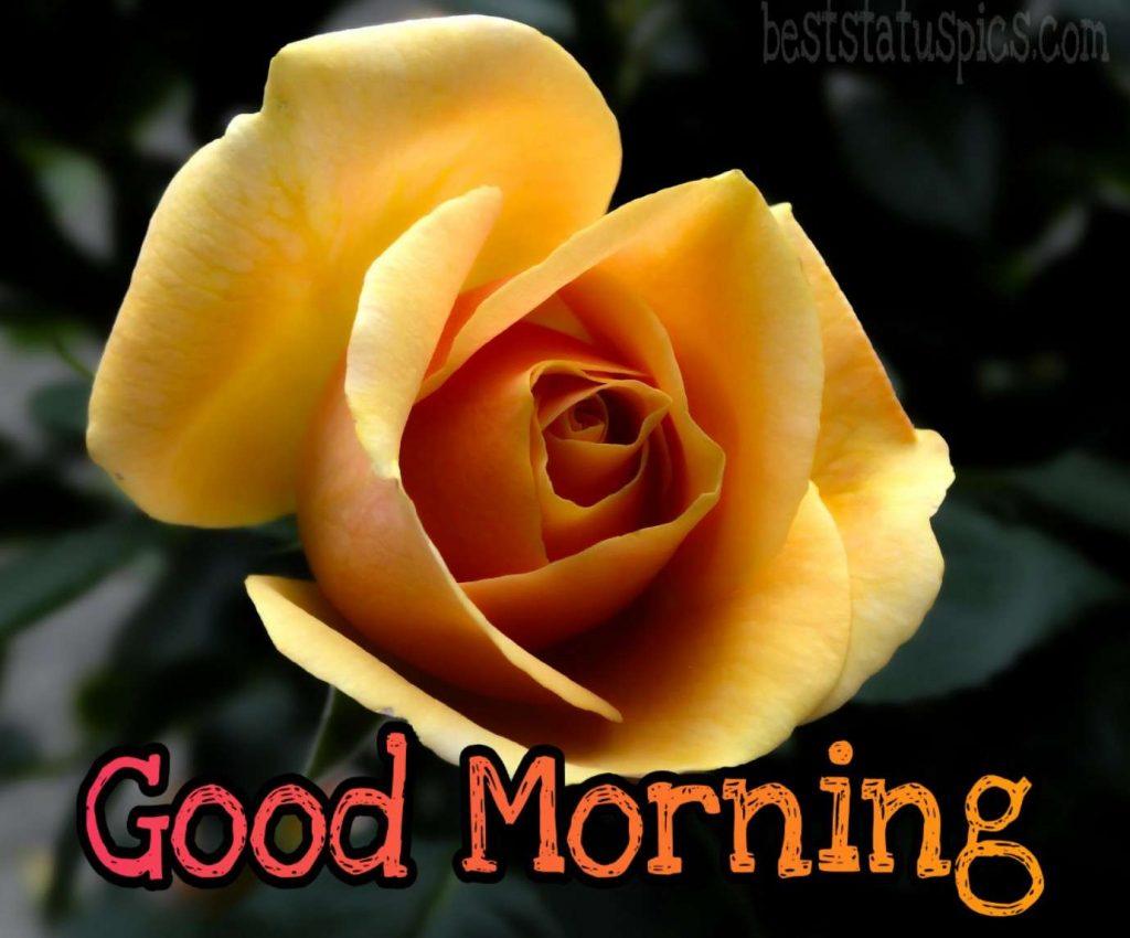 Nice good morning yellow rose image