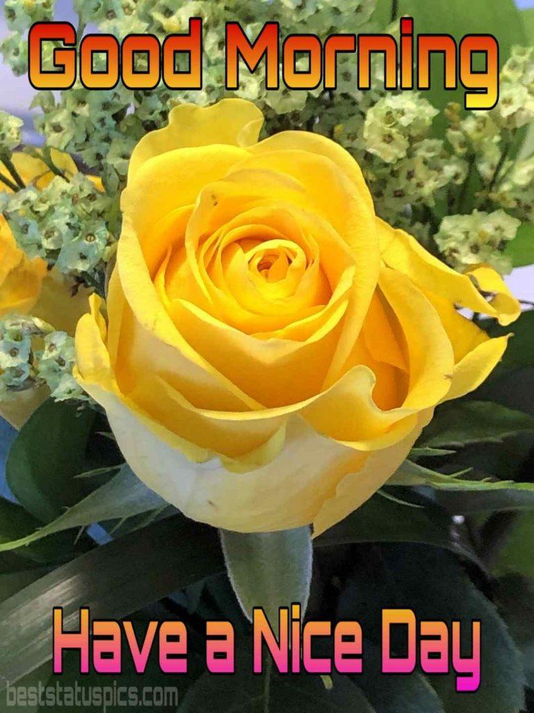 Beautiful good morning yellow rose image