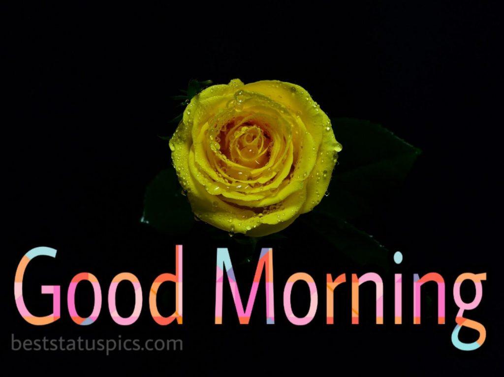 Good morning single yellow rose image