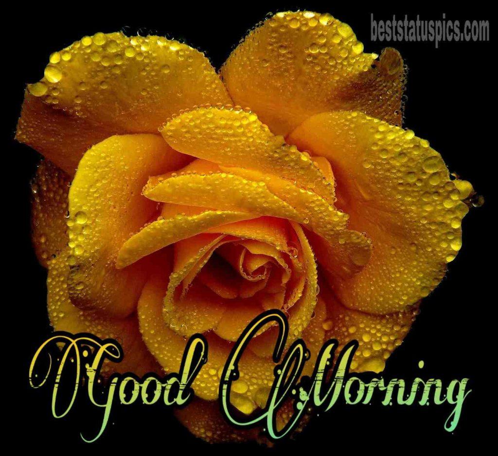 Good morning yellow rose image full hd
