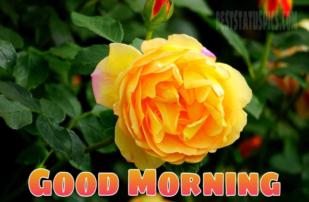 Special good morning yellow rose image