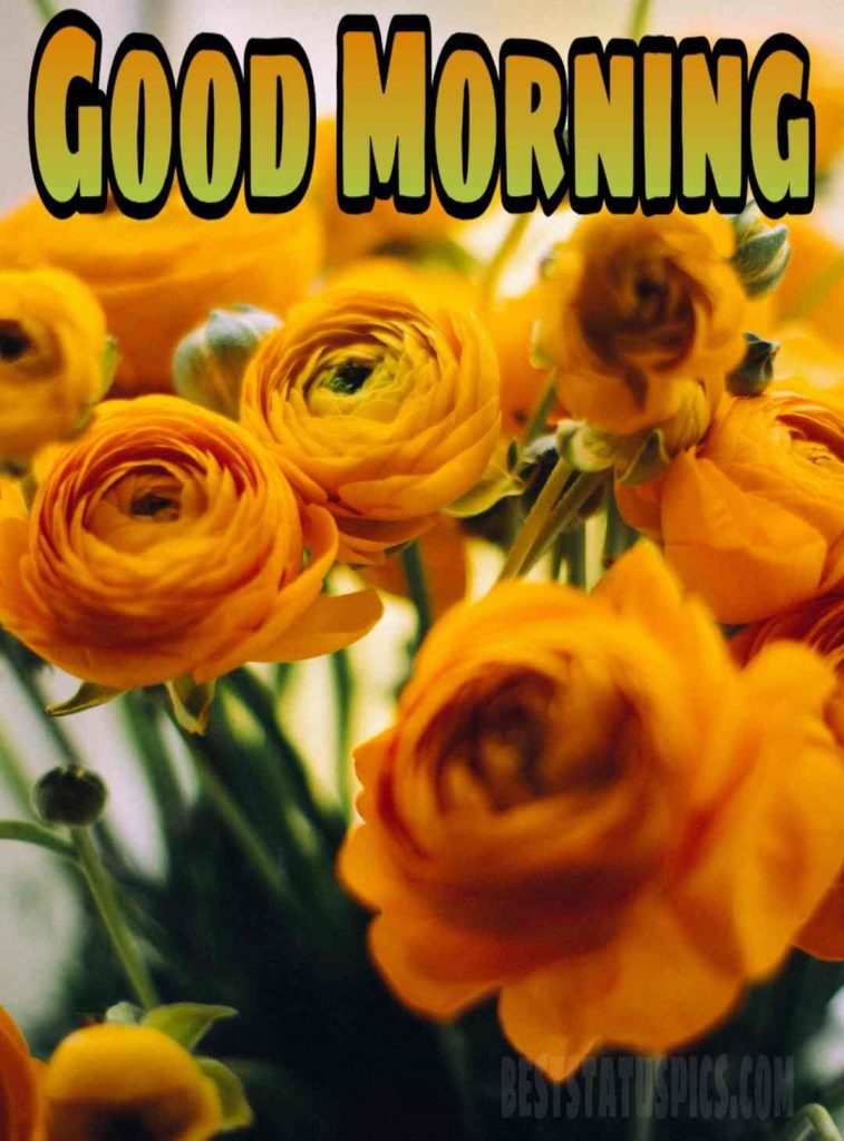 Good morning yellow rose flowers pictures