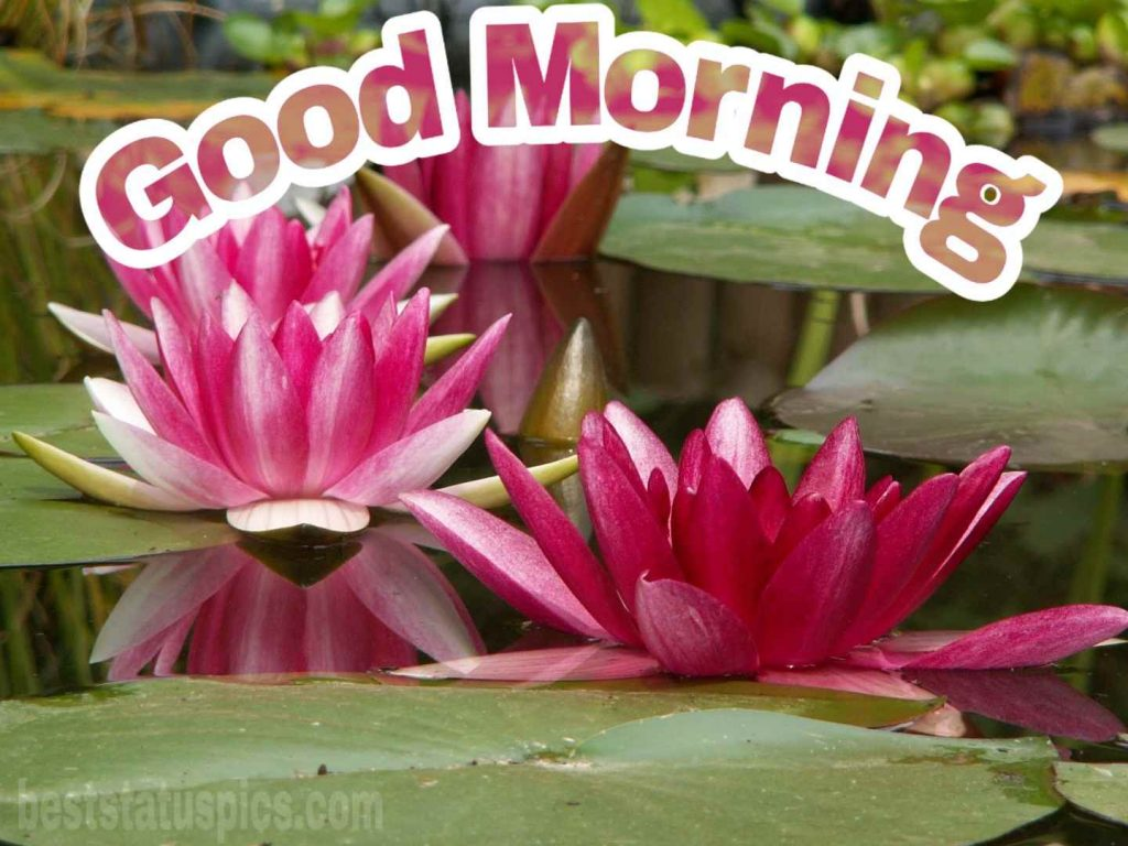 Good morning pond lily padma image