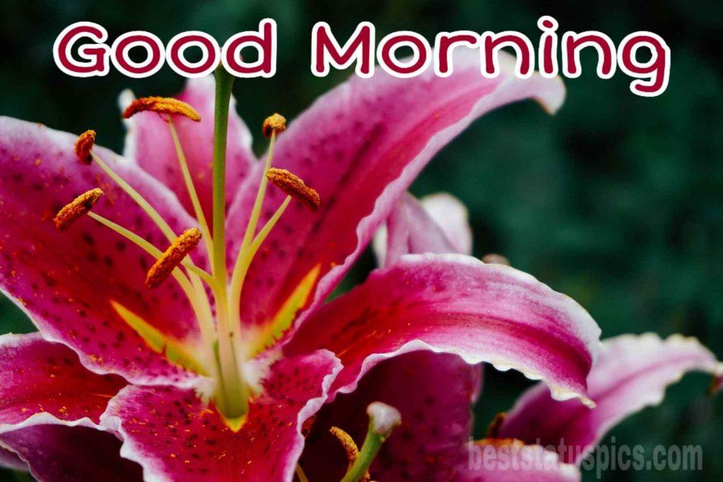 Beautiful good morning lily HD image