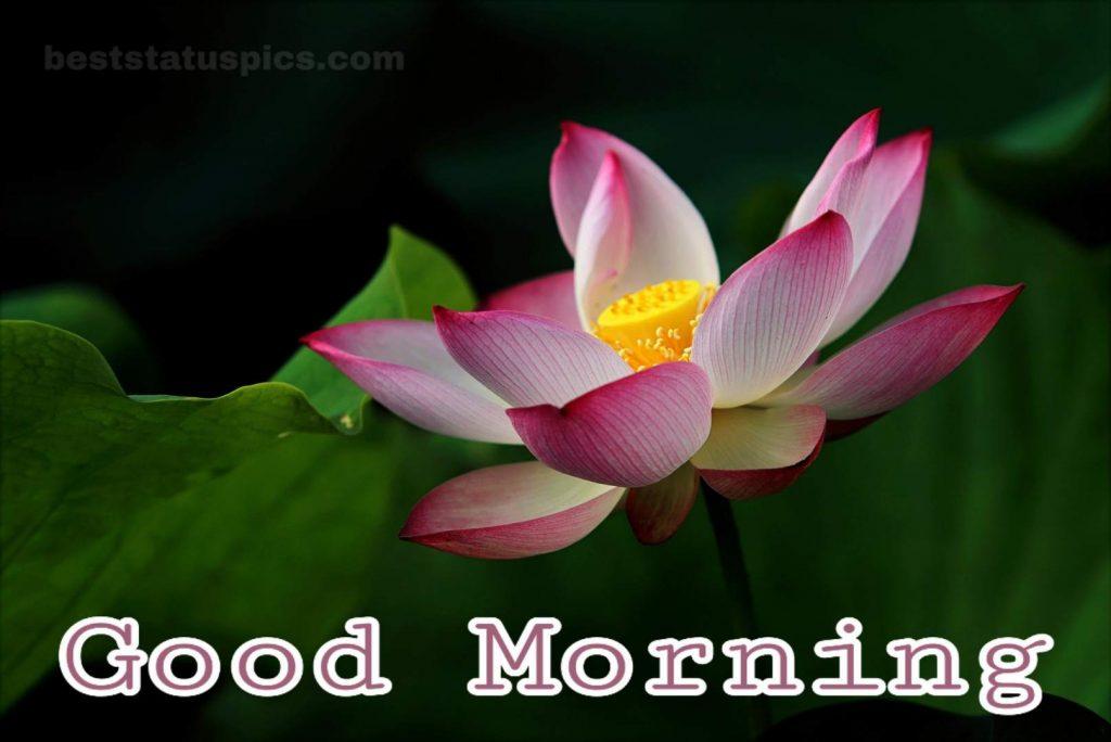 Good morning lotus flower for whatsapp dp