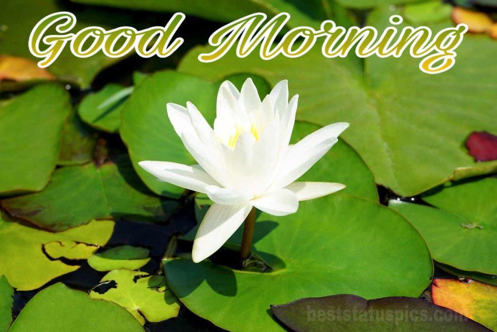 Good morning water lotus image