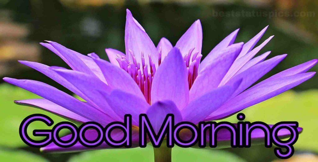 Good morning purple lotus bloom image