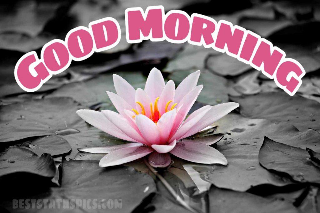 Beautiful good morning lotus flower pic