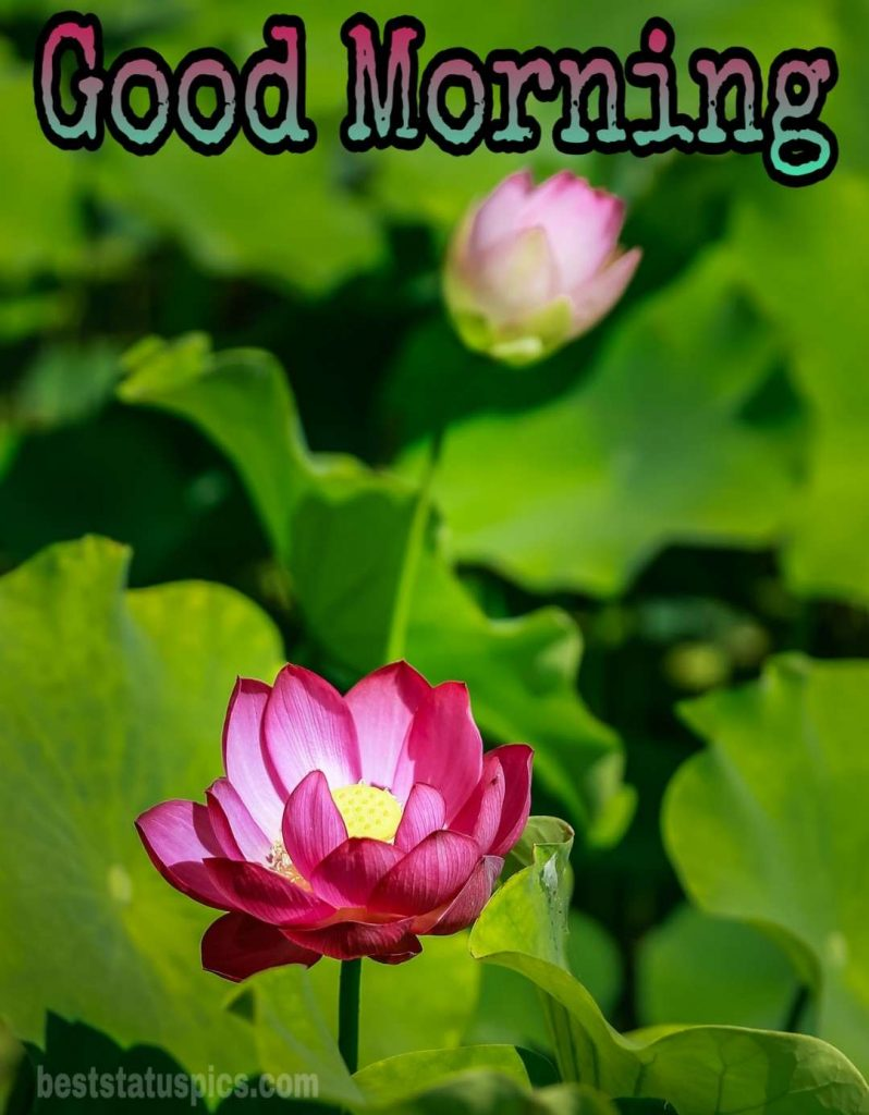 Good morning lotus floral image