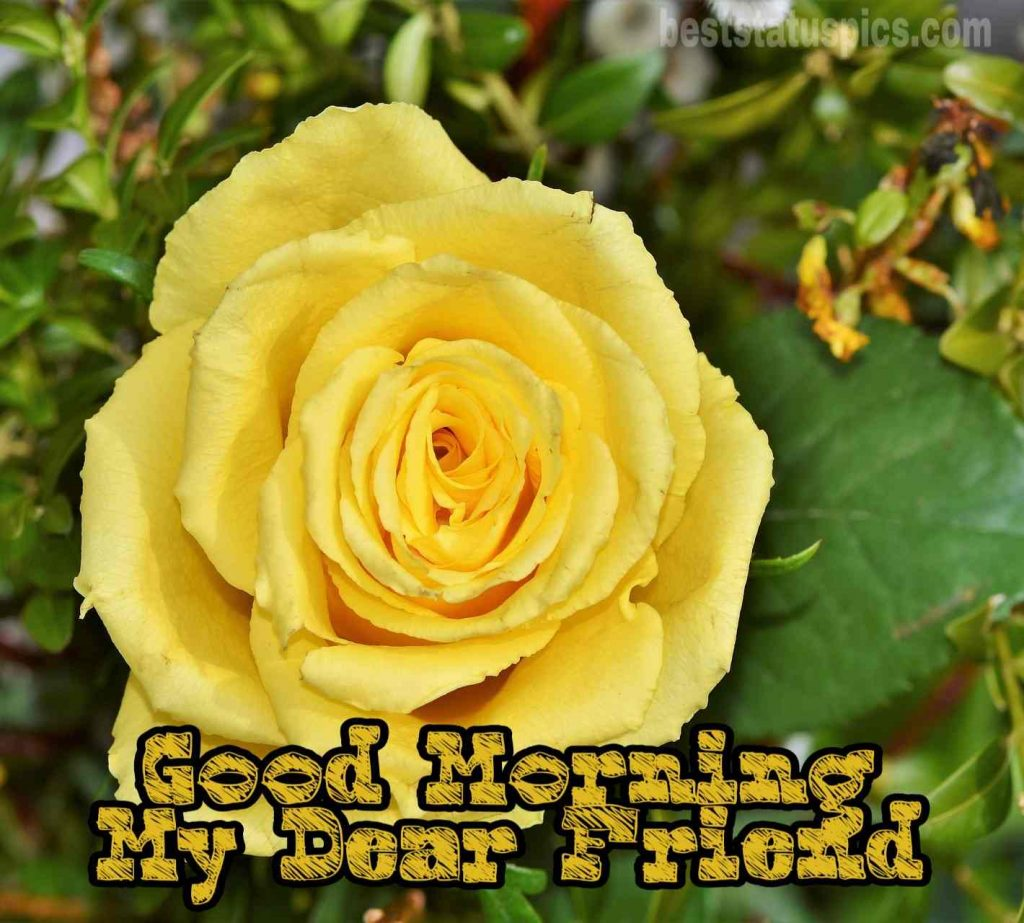 Good morning friends images with yellow rose