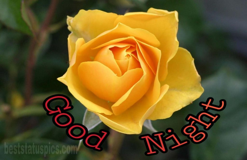 Yellow rose flower good night images