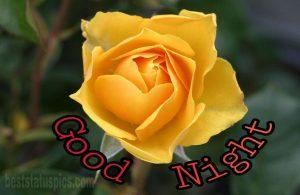 Yellow rose flower good night images