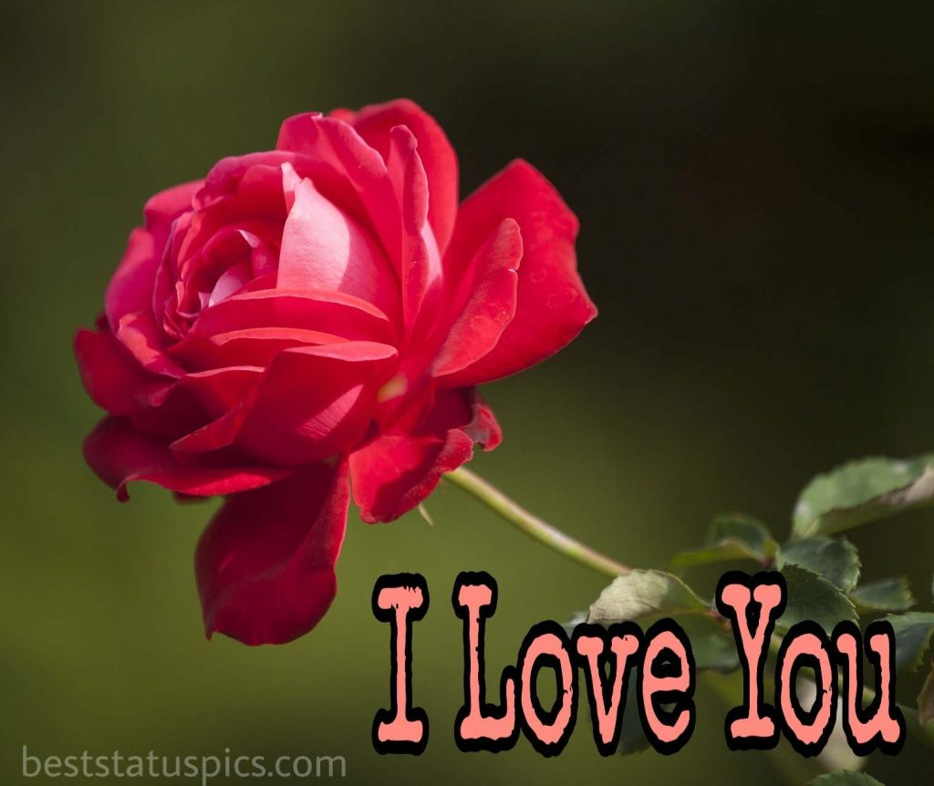 i love you dp for whatsapp with rose