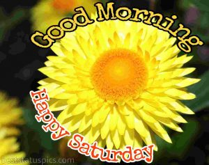 good morning happy saturday image with sunflower for whatsapp