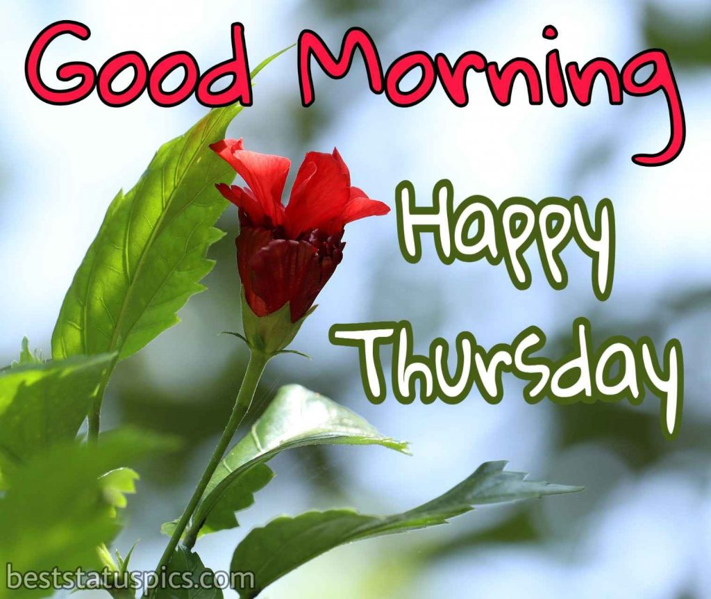 beautiful good morning happy thursday wishes with red rose flower image