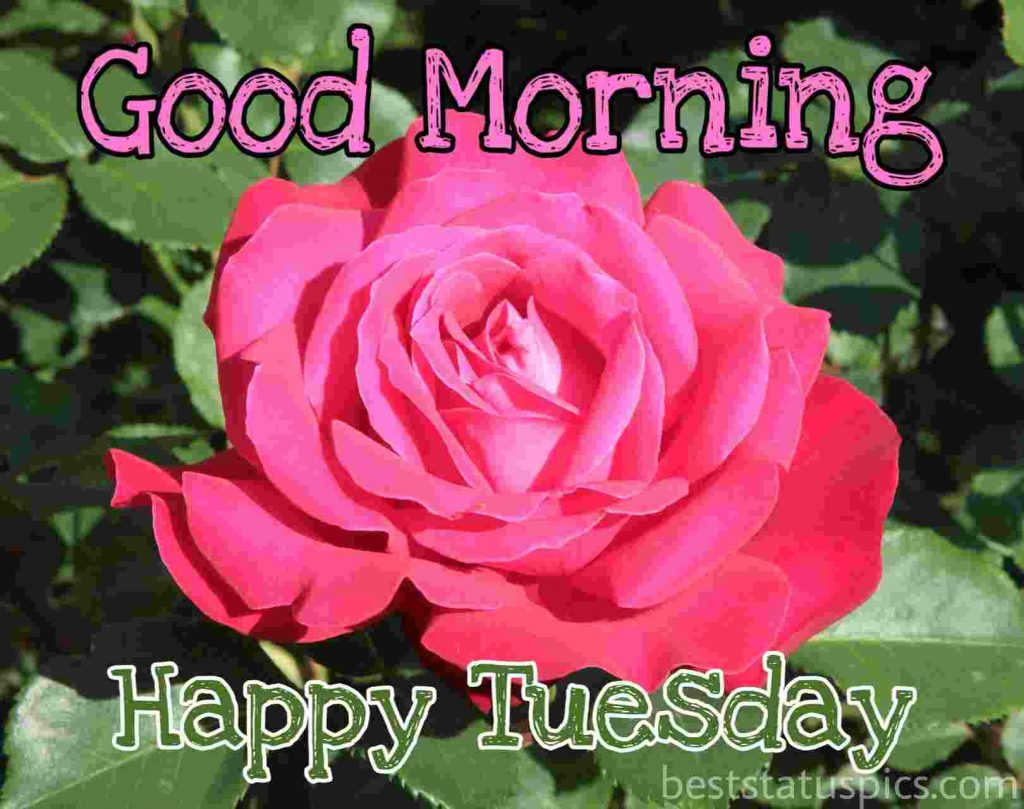 good morning tuesday wishes with red rose flower picture for Whatsapp dp