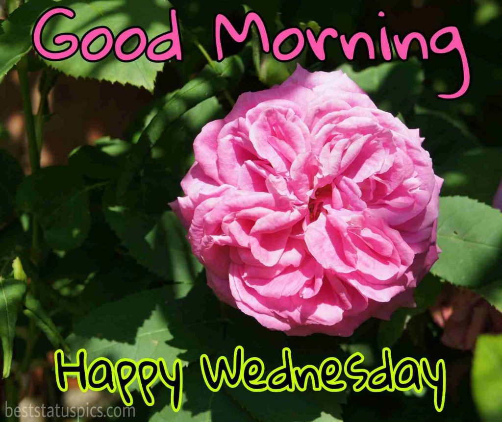 good morning happy wednesday pink rose flower pics for whatsapp dp